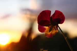 Spring photography flowers backlit sunset