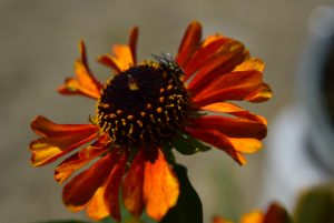 Bright coloured orange flower with a fly on it