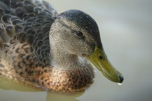 Close up of a duck taken on a teens photography course