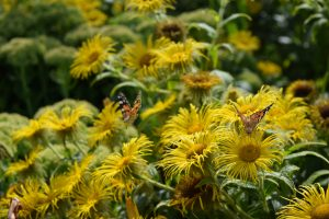 Butterflies on yellow flowers at Scotney Castle
