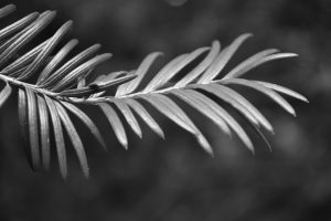 Black and white photograph of leaves taken at Waddesdon Manor