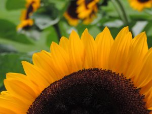 Half of a sunflower taken using the rule of thirds