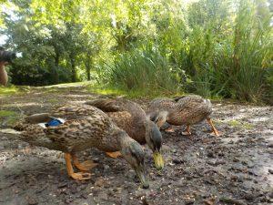 wildlife at Tatton Park