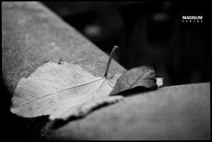 Black and white autumn photograph Sergio Larrain detailed leaf