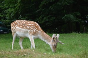 Wild deer grazing in Richmond Park