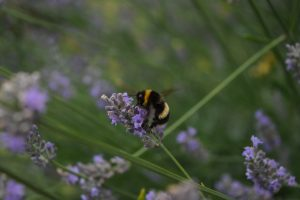 Bumble bee sat on lavender plant in Richmond Park
