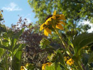 A small sun flower