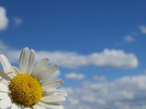 Daisy with sky